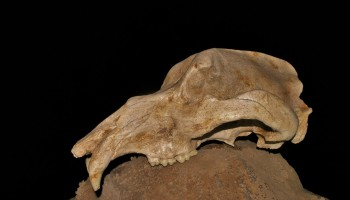 Lobanja jamskega medveda