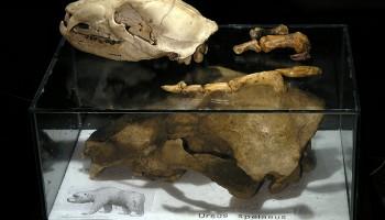 Lobanja rjavega in jamskega medveda