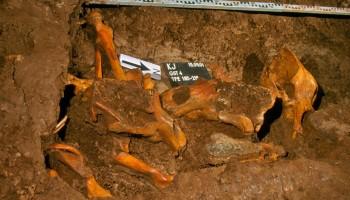 Lobanje jamskih medvedov