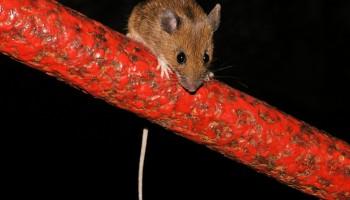 Miš v jami