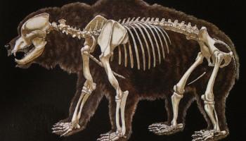 Skica okostja jamskega medveda
